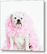 Bulldog Wearing Feather Boa Metal Print by Max Oppenheim
