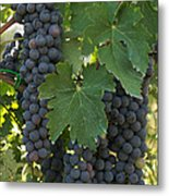 Bunches Of Sangiovese Grapes Hang Metal Print by Heather Perry