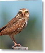Burrowing Owl Metal Print by Peter Schoen