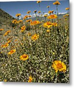 Bush Sunflowers Grow On Arid Slope Metal Print by Gordon Wiltsie