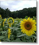 Buttonwoods Sunflowers Metal Print by Jason Sawicki