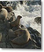 California Sea Lions Bask On San Miguel Metal Print by James A. Sugar