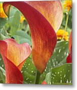 Calla Lily Zantedeschia Sp Captain Metal Print by VisionsPictures