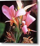 Canna Lily 'erebus' Metal Print by Adrian Thomas