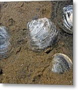 Cape Cod Clam Shells Metal Print by Juergen Roth