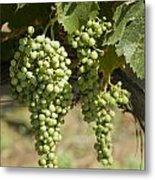 Casa Blanca Valley, Wine Growing Region Metal Print by Richard Nowitz