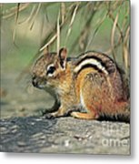 Chipmunk On A Warm Summer Evening Metal Print by Inspired Nature Photography Fine Art Photography