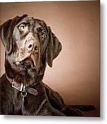Chocolate Labrador Retriever Portrait Metal Print by David DuChemin