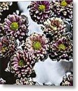 Chrysanthemum 3 Metal Print by Skip Nall