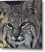Close-up Of A Bobcat Metal Print by Dr. Maurice G. Hornocker