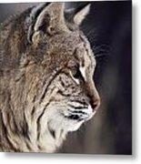 Close-up Of A Bobcat Felis Rufus Metal Print by Dr. Maurice G. Hornocker