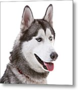 Close-up Of Siberian Husky Metal Print by Lane Oatey/Blue Jean Images