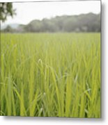 Close Up Of Tall Blades Of Grass Metal Print by Laurie Castelli