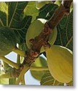 Close-up Of Two Large Figs Hanging Metal Print by Robert Sisson