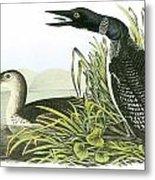 Common Loon Metal Print by John James Audubon