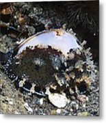 Cowrie On A Reef Metal Print by Georgette Douwma