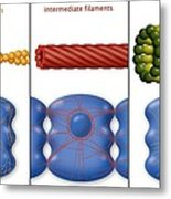 Cytoskeleton Components, Diagram Metal Print by Art For Science