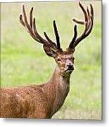 Deer With Antlers, Harrogate Metal Print by John Short