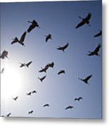 Demoiselle Cranes (anthropoides Virgo) Group Of Birds Flying, In Khichan, Rajasthan, India Metal Print by Berndt Fischer