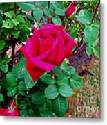 Dew Kissed Red  Rose Metal Print by The Kepharts