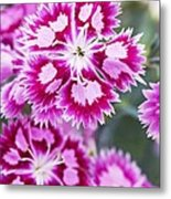 Dianthus Cranberry Ice Flowers Metal Print by Jon Stokes