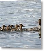 Duck And Ducklings Swimming In A Row Metal Print by Keith Levit