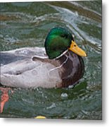 Duck Bathing Series 4 Metal Print by Craig Hosterman