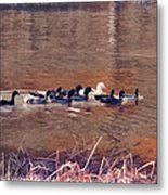 Ducks On Canvas Metal Print by Douglas Barnard