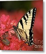 Eastern Yellow Tiger Swallowtail And Azaleas Metal Print by Lara Ellis