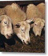 Ewes Feeding Metal Print by David Aubrey