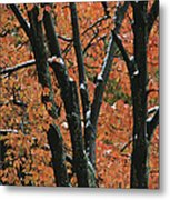 Fall Foliage Of Maple Trees After An Metal Print by Tim Laman