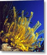 Featherstars On Coral Metal Print by Peter Scoones