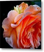 Feuerrose Metal Print by Photo by Ela2007