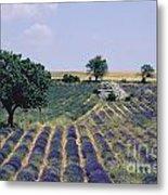 Field Of Lavender. Sault. Vaucluse Metal Print by Bernard Jaubert