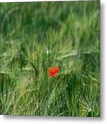 Field Of Wheat With A Solitary Poppy. Metal Print by Bernard Jaubert