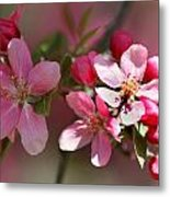 Flowering Crabapple Detail Metal Print by Mark J Seefeldt
