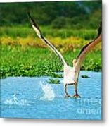 Flying Great White Pelican Metal Print by Anna Omelchenko