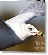 Flying Seagull Closeup Metal Print by Wingsdomain Art and Photography
