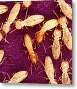Formosan Termites Metal Print by Science Source