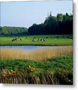 Friesian Cattle, Near Cobh, Co Cork Metal Print by The Irish Image Collection