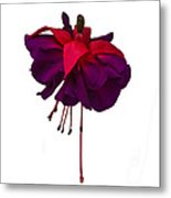 Fuchsia On White Metal Print by Dawn OConnor