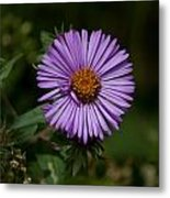 Full Aster Metal Print by Jessica Lowell
