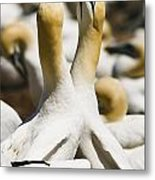 Gannets, Parc National De Metal Print by Yves Marcoux