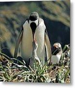Gentoo Penguin Feeding Chick Metal Print by Charlotte Main
