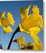Glowing Yellow Daffodil Flowers Art Prints Spring Metal Print by Baslee Troutman