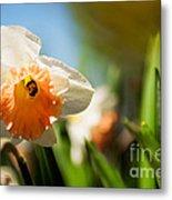 Golden Daffodils  Metal Print by Venura Herath
