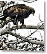 Golden Eagle Watches Metal Print by Don Mann