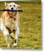 Golden Retreiver With Stick Metal Print by Stephen O'Byrne