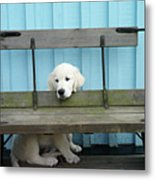 Golden Retrieven Puppy Metal Print by Mikael Törnwall