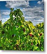 Grape Vines Up Close Metal Print by Steven Ainsworth